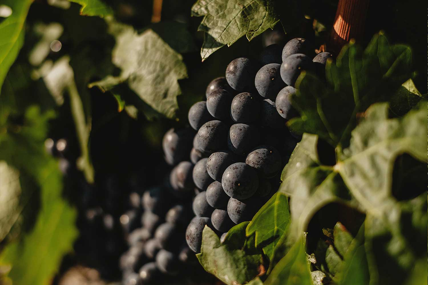 Rioja vines are our treasure - 7 different virieties of grapes